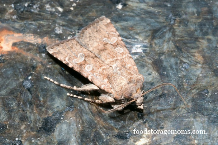 How to get rid of pantry moths in your kitchen food for Pantry moths