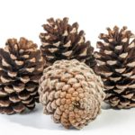 How To Clean, Bake And Store Pine Cones For Survival