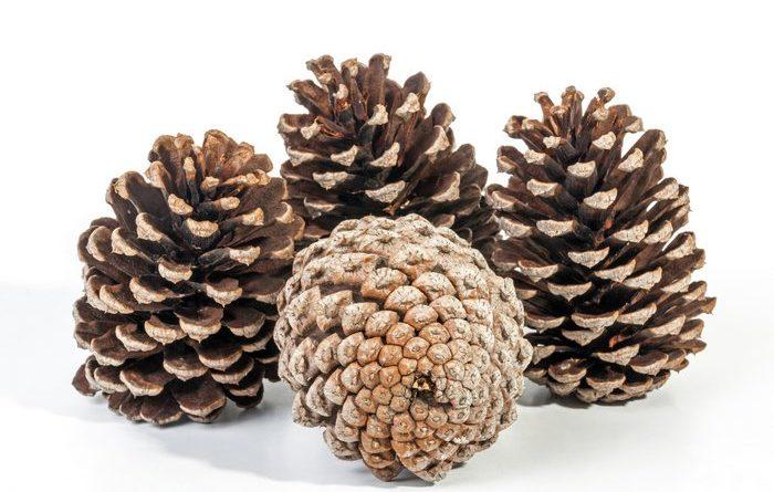 Store Pine Cones
