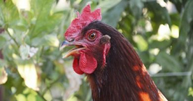 chicken breed