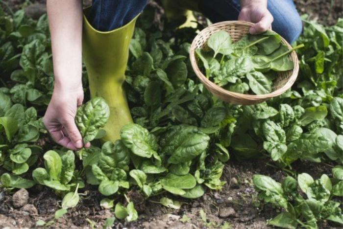 Picking spinach in the garden