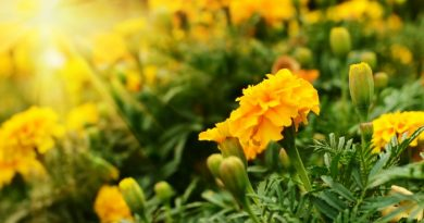 Marigolds Planting Them In Vegetable Gardens