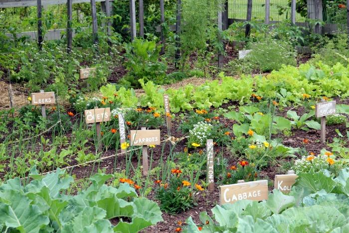 Marigolds for Vegetable Gardens