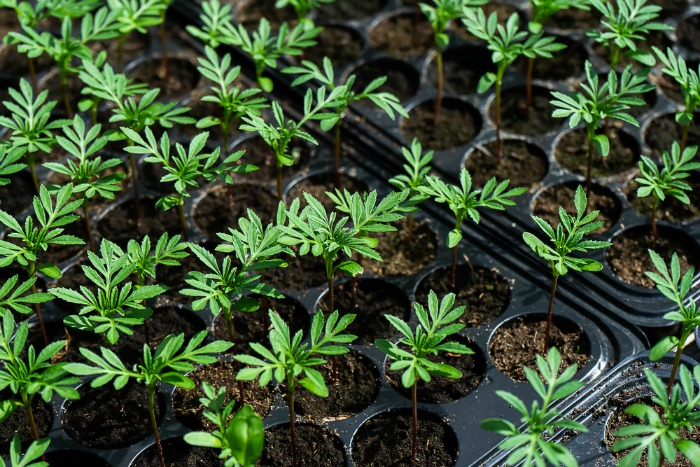 Marigolds Seedlings