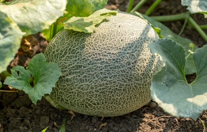 How To Grow Cantaloupe In Your Backyard