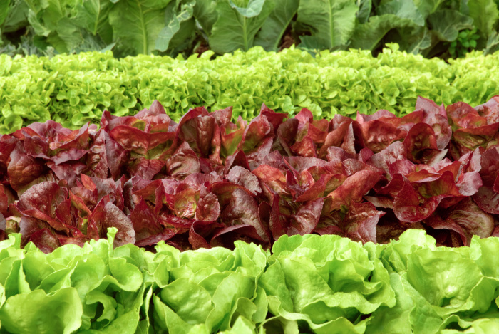 Lettuce what kind should i plant food storage moms - How to store lettuce from garden ...