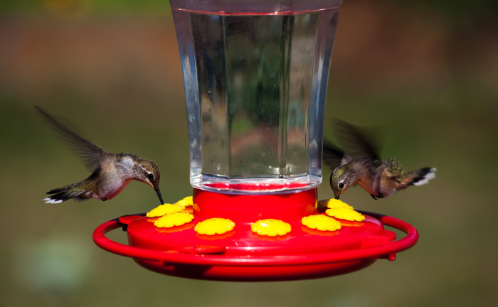 photograph relating to Printable Hummingbird Nectar Recipe titled Hummingbird Foods Recipe by means of FSM