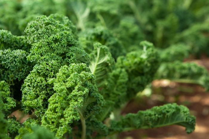 Kale in an organic garden