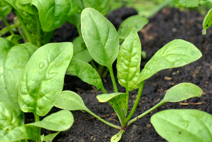 Spinach in the garden