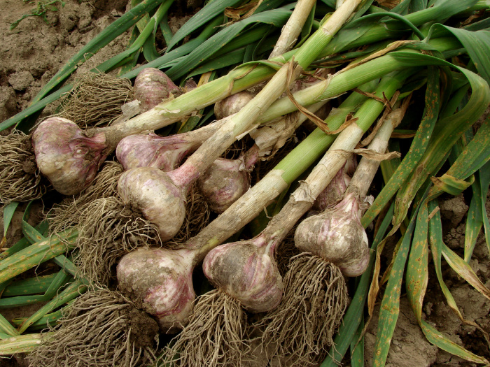 Garlic: Everything You Need To Know