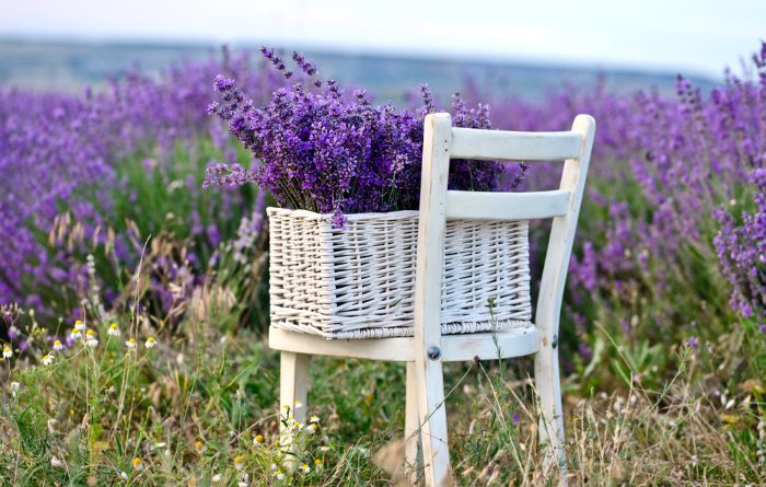 Lavender: Everything You Need to Know