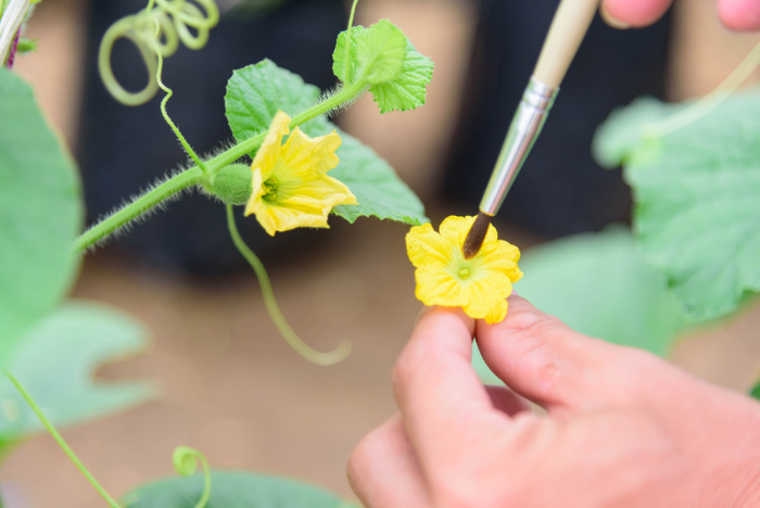 Hand Pollinate Flowers