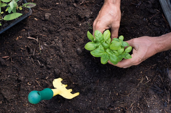 Planting a small basil seedling