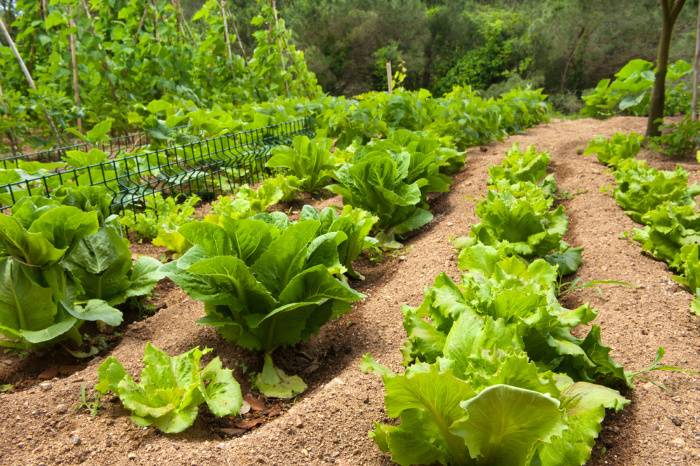 What To Plant In February Lettuce Growing