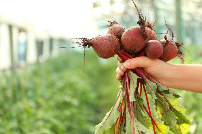 What To Plant In February Beets just Pulled