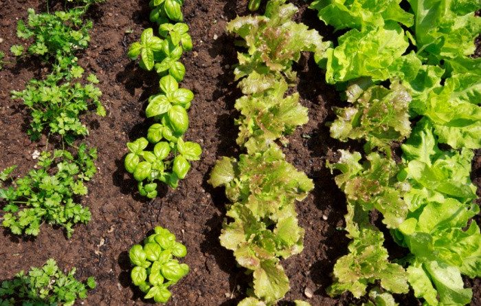 Cilantro, Basil & Lettuce