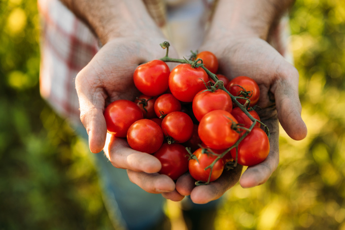 What To Plant In February Tomatoes