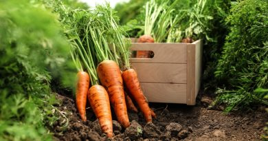 Carrots being harvested with a wooden box