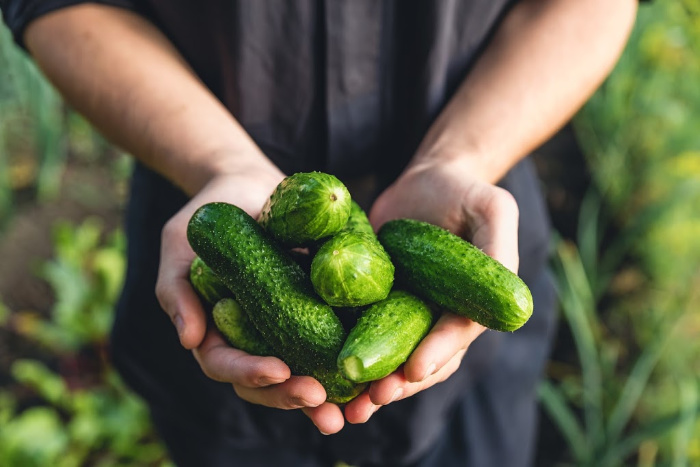 Hands with freshly picked cucumbers