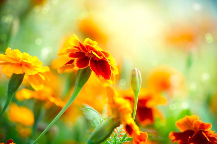 Marigold flowers in a field