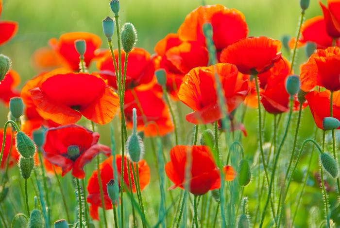 Poppy Flowers in a filed
