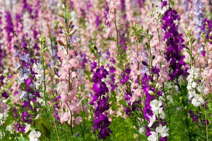 Delfinium flower in a field