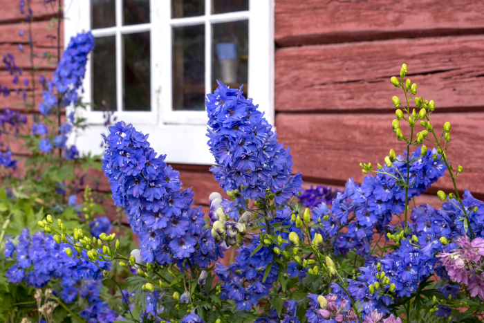Larkspur flowers against a house