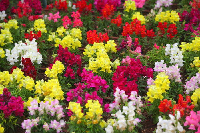 Snapdragons in a field