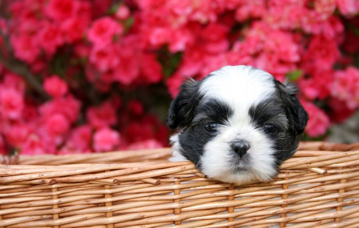 Black and White Dog with Flower background