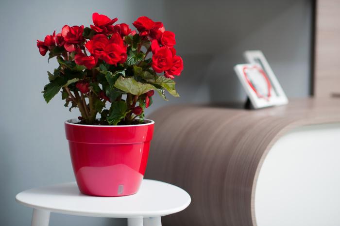 Begonias in a red pot