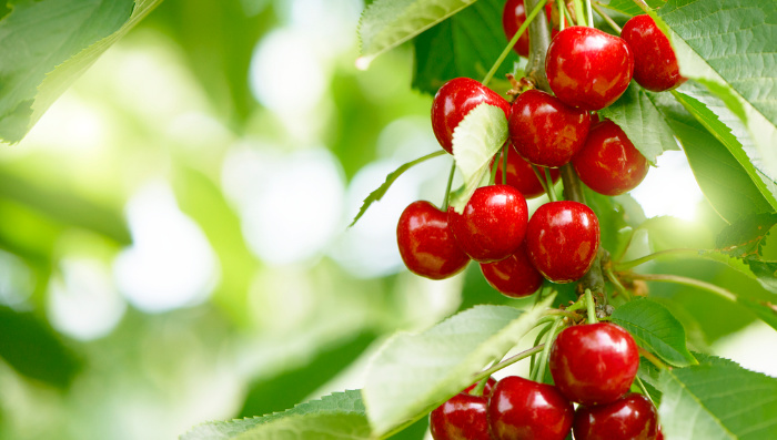 Cherries hanging from a tree