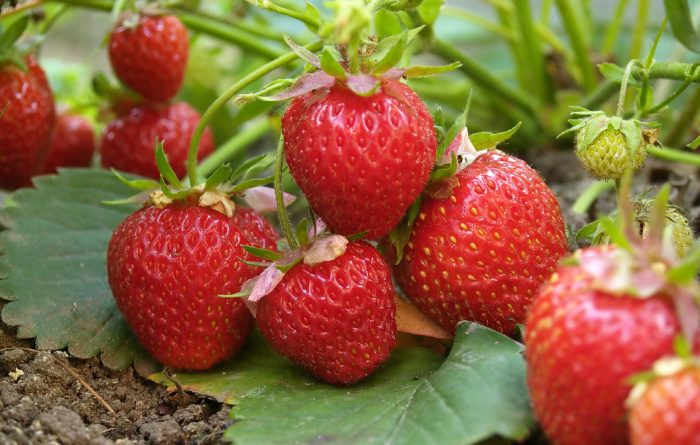 Strawberries: Everything You Need to Know