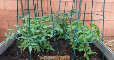 Tomatoes Growing in My Garden