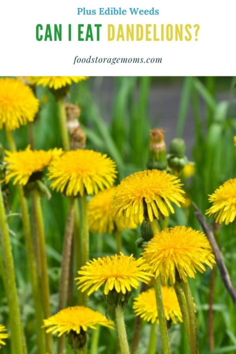 Can I Eat Dandelions? Other Edible Weeds