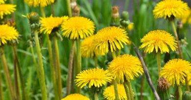 Can I Eat Dandelions? Edible Weeds