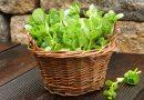 Can I Eat Purslane? Edible Weeds