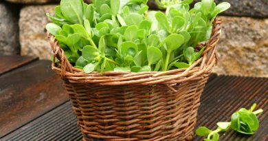 Can I Eat Purslane? Edible Weeds