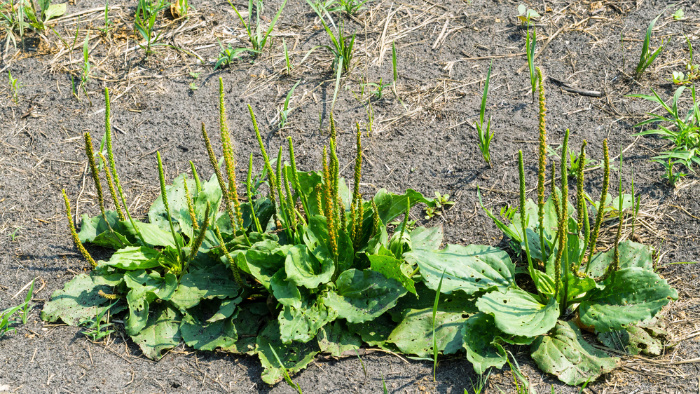 Plantain Edible Weeds