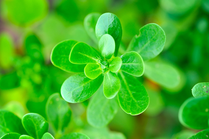 Can I Eat Red Clover? Edible Weeds
