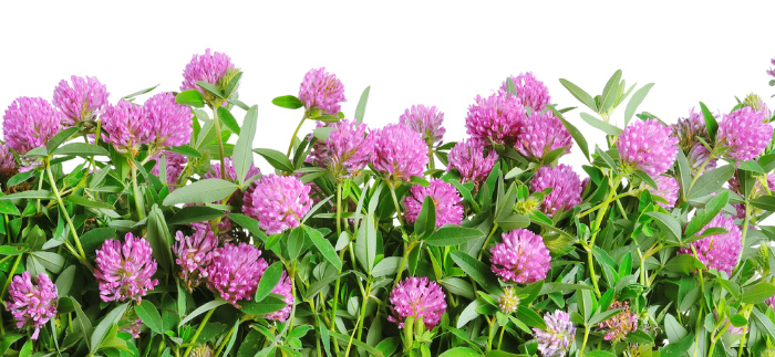 Red Clover Edible Weeds