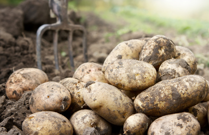 Potatoes: How To Store After Harvesting