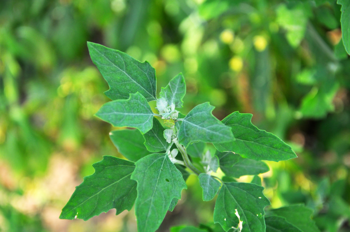 Lambs Quarters (Chenopodium album)