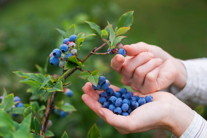 Blueberries: Everything You Need to Know