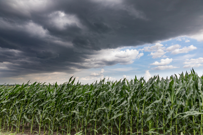 Is There a Corn Shortage? Iowa Derecho Damage