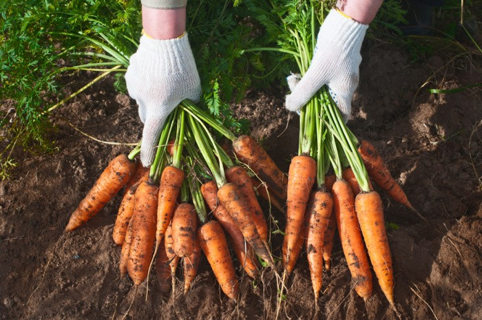 Carrots are Easy To Grow