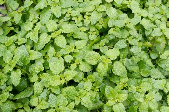 Catnip Herbal Remedies