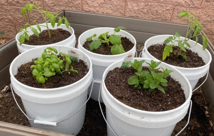 How to Garden With 5-Gallon Buckets