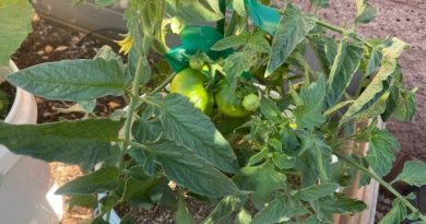 Top Gardening Tips for Growing Tomatoes