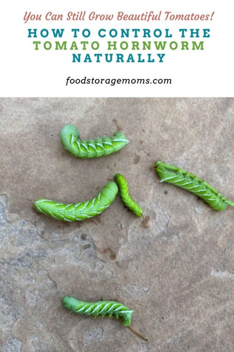 How to Control the Tomato Hornworm Naturally