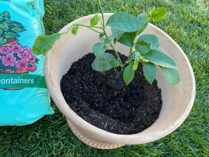 Placing the Lemon Tree in Pot